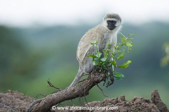 Vervet monkey Saadani National Park Tanzania by Ariadne Van Zandbergen