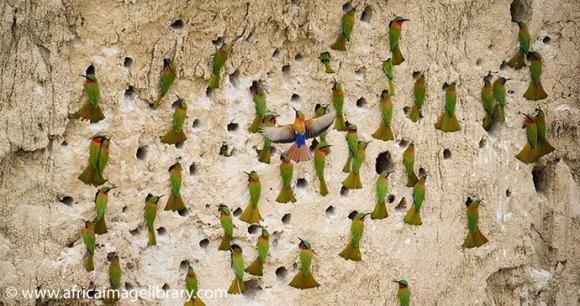 Red-throated bee eaters Uganda by Ariadne Van Zandbergen