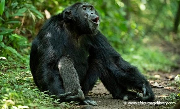 Chimpanzee Kibale National Forest Uganda by Ariadne Van Zandbergen