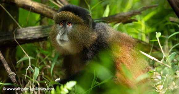 Golden monkey Uganda Ariadne Van Zandbregen