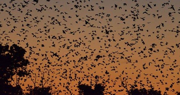 Bats Kasanka National Park Zambia by Chris Meyer