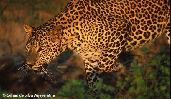 Leopard Sri Lanka by Gehan De Silva Wijeyeratne