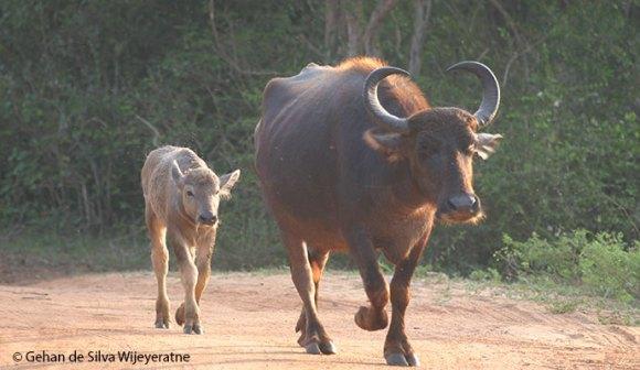 Water buffalo Sri Lanka by Gehan de Silva Wijeyeratne