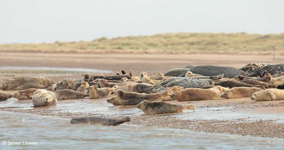 Grey seal Lincolnshire UK by James Lowen