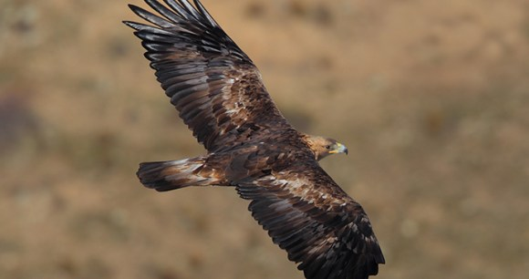 Golden Eagle by Juan Lacruz Wikimedia Commons