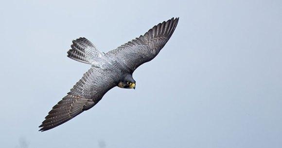 Peregrine falcon by Sue Robinson, Shutterstock