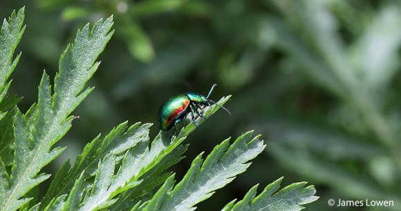 Tansy beetle Britain England by James Lowen