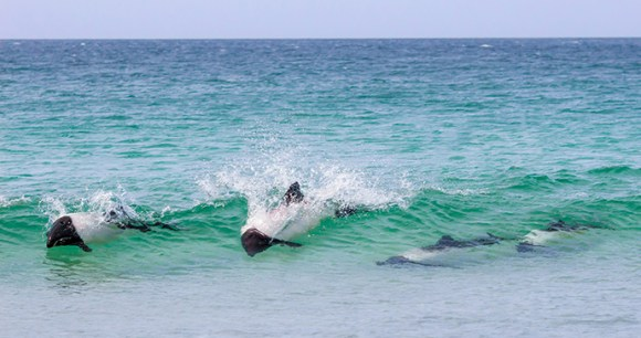 Commerson's dolphins, Bertha's Beach, Falkland Islands by fieldwork, Shutterstock