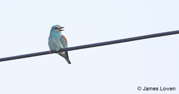 European roller, Extremadura, Spain by James Lowen