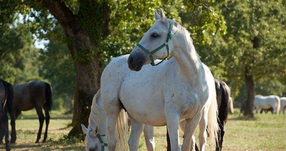 Lipica horses Slovenia Alpe Adria Trail by Slovenia Tourist Board Archive