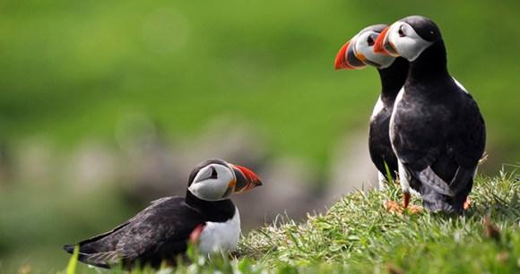 Puffins Faroe Islands Shutterstock