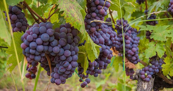 Grapes, Rahovec by Bujar Gashi, Wikimedia Commons