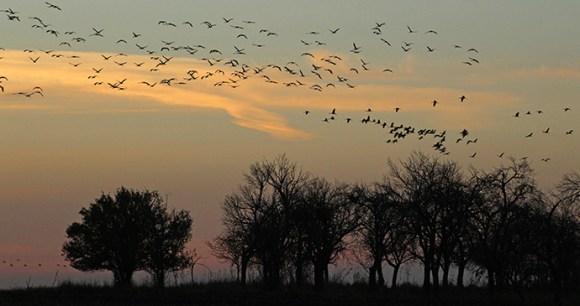 Cranes, Slano Kopovo, Serbia by Laurence Mitchell