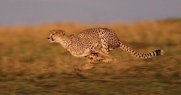 Running Cheetah, A Cheetah's Tale by Jonathan Scott