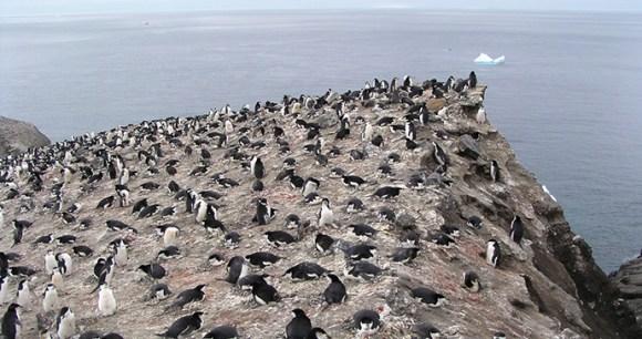 Chinstrap penguin Halfmoon Island Antartica by Tony Soper