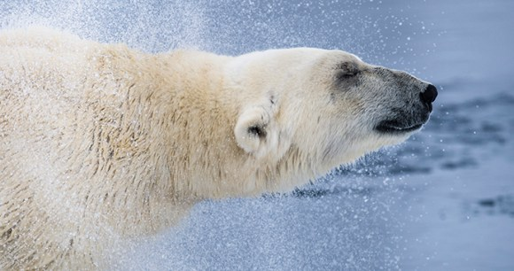 Polar bear, Svalbard by There are more polar bears than people in Svalbard © Roy Mangersnes, www.nordnorge.com