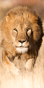 Lions are in in trouble in Africa, Namibia © Janet Widdows, Africat