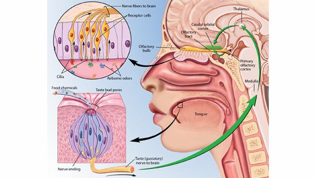 human taste buds diagram earthworm worksheet and smell of receptors