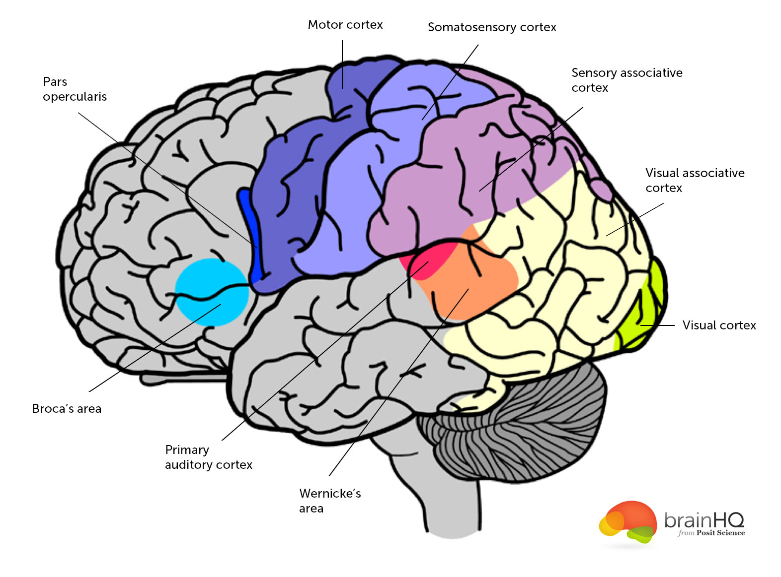 Brain Anatomy Image Gallery