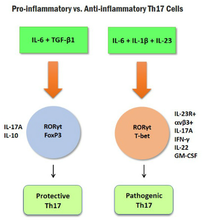 Pro-inflammatory Th17 Cells Glucocorticoid Resistance Figure1