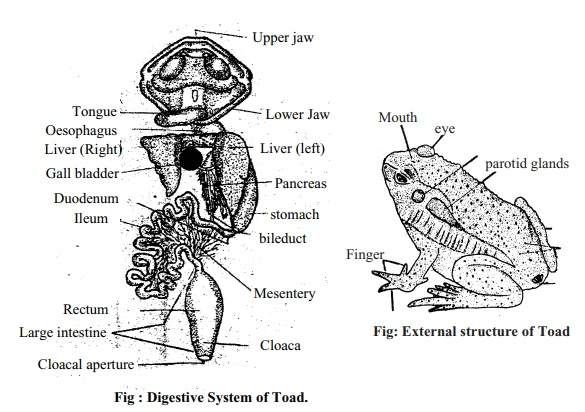 Toad: External Features, Digestive System, Method of