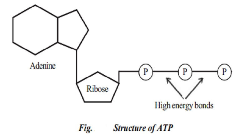 Plant Respiration and structure of ATP