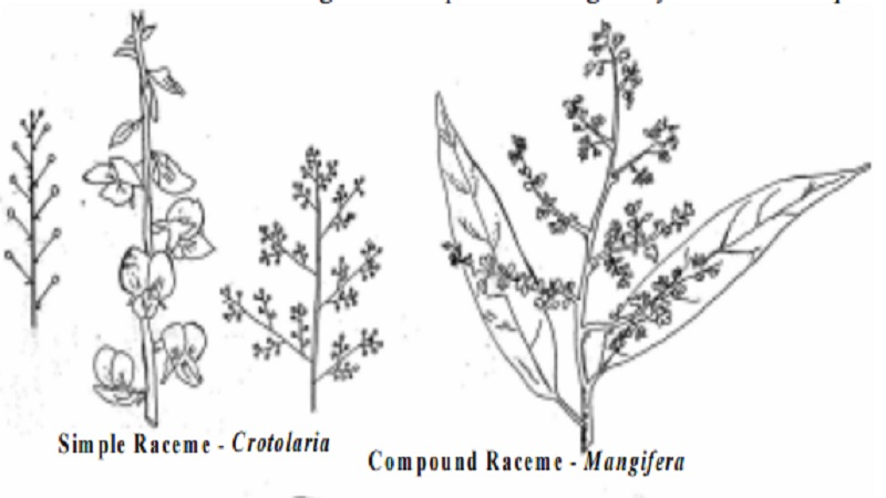 Inflorescence : Racemose, Cymose, Mixed and Special types