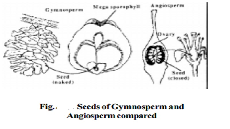 Classification and Characteristic of Spermatophytes