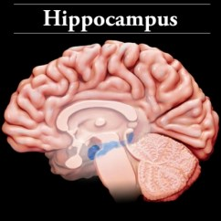 Lower Brain Diagram Dayton 2x440 Drum Switch Wiring Interactive Brainline The Cells In Hippocampus Are Hypersensitive To Oxygen Loss Or Blood Flow Case Of A Injury
