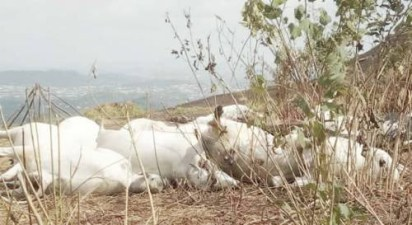 Police Begins Investigation Into Mysterious Death Of Cows In Ondo
