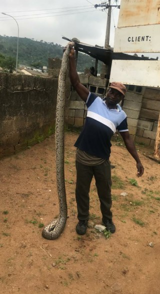 See Photos Of The Huge Python Killed In A Village In Abuja