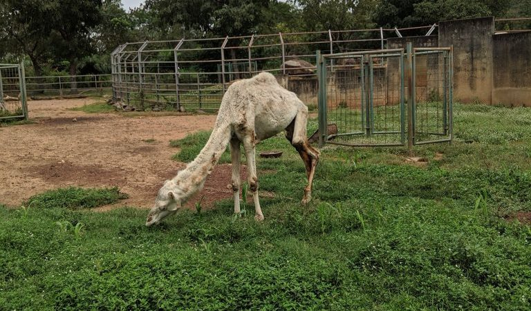 Malnourished Camel Sparks Attention At A Nigerian Zoo