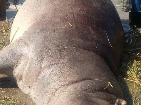 Man In Gambia Shows Off Hippopotamus He Killed In His Village