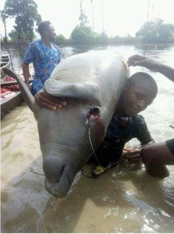 Residents Killed Huge Sea Cow In Taraba State