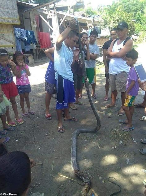Giant Cobra Kills And Swallows Huge Python