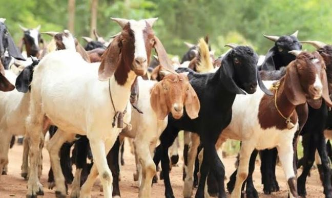 Jigawa Govt Empowers 440 Women With 1,320 Goats And Its A Loan