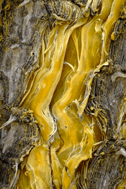 Cedric Pollet, Ocotillo tree bark