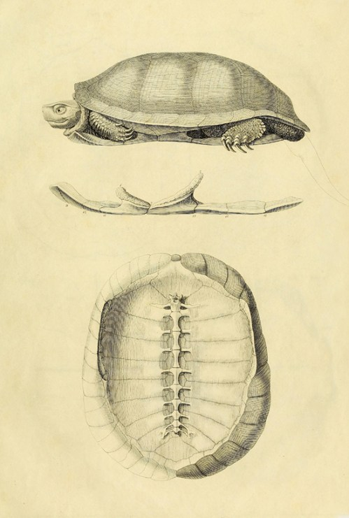 Turtle Anatomy, in Stunning Images from 1820 – Brain Pickings