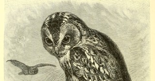 Gorgeous 19th-Century Illustrations of Owls and Ospreys