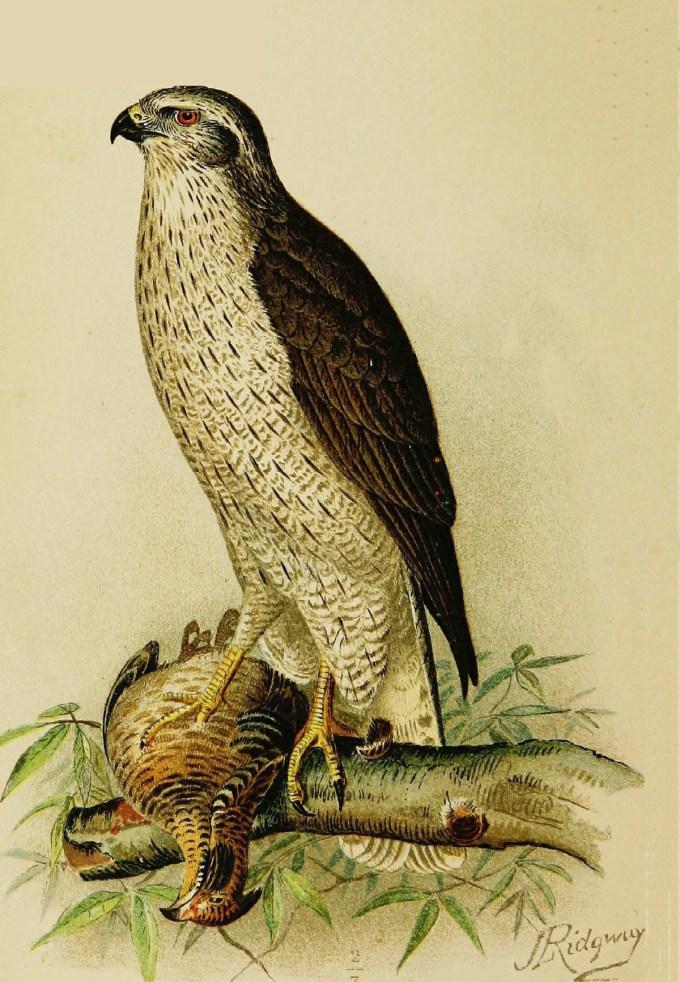 American goshawk by Robert Ridgway, 1893 (public domain)