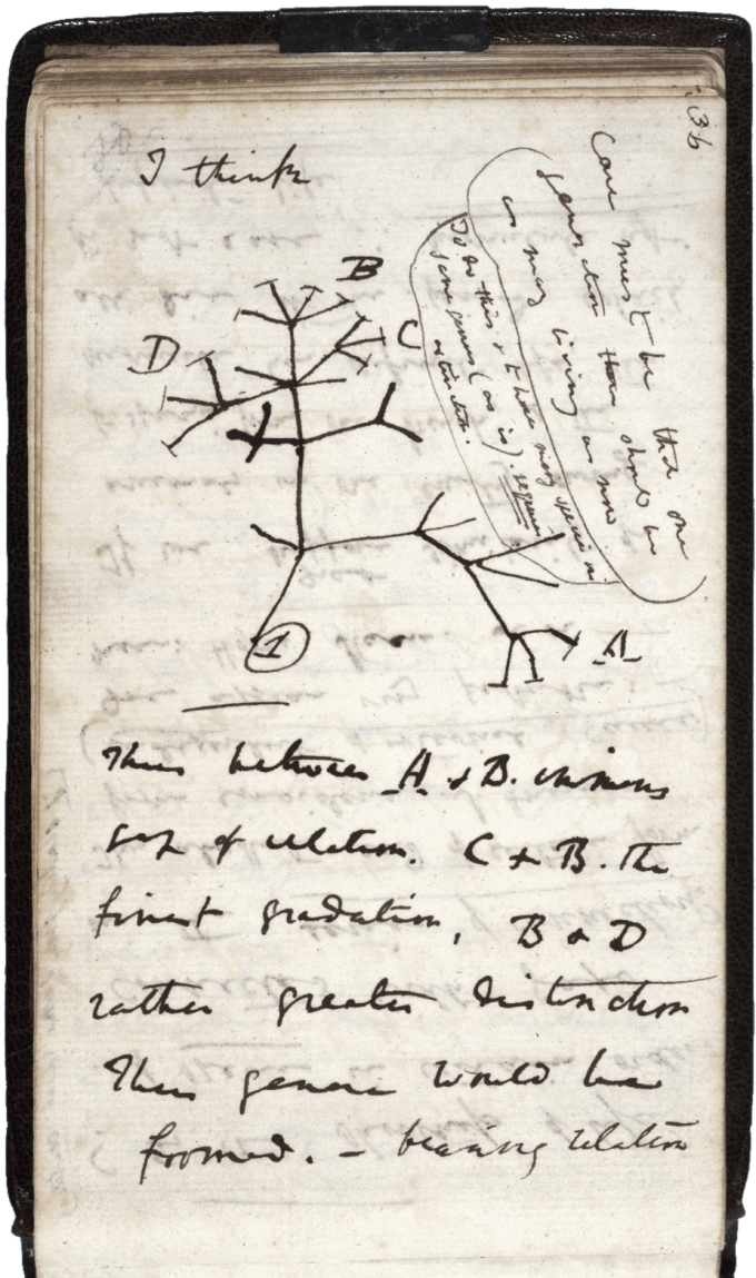 Darwin's first diagram of an evolutionary tree , sketched in his First Notebook on Transmutation of Species (1837)
