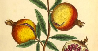 A Curious Herbal: Gorgeous Illustrations from Elizabeth Blackwell's 18th-Century Encyclopedia of Medicinal Botany