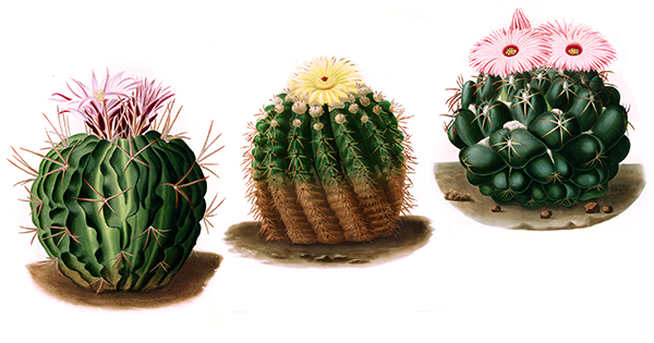 The Poetics of Outer Toughness and Inner Tenderness: Gorgeous 19th-Century Engravings of Cacti