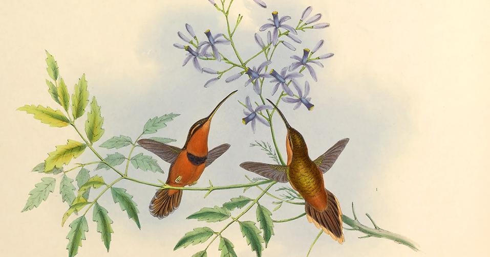 hummingbird_gould0.jpg