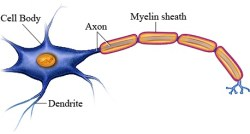 neuron with myelin
