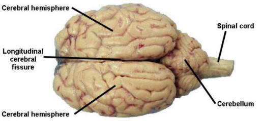 Dissecting Sheep Brains With Sixth Graders   Brains Explained