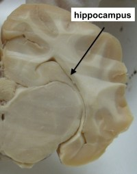 sheep hippocampus