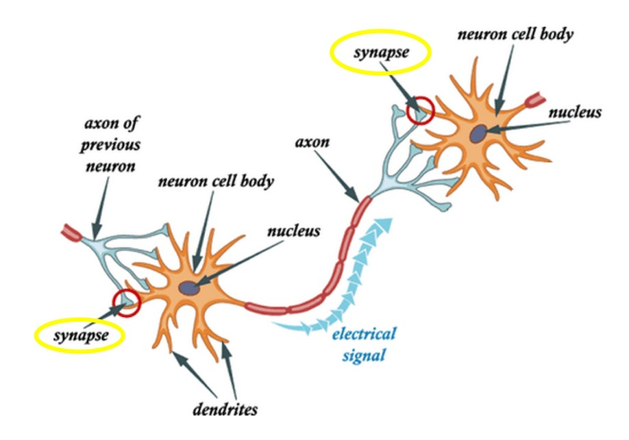 How our brains learn brains explained cartoon of neurons connected by synapses credit simple biology modified ccuart Image collections