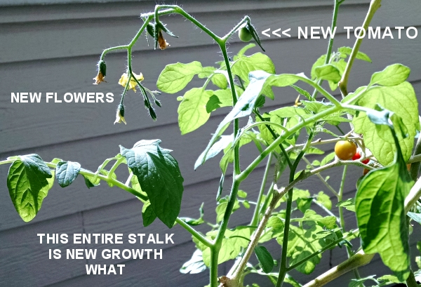 [image: new growth on my cherry tomato plant]