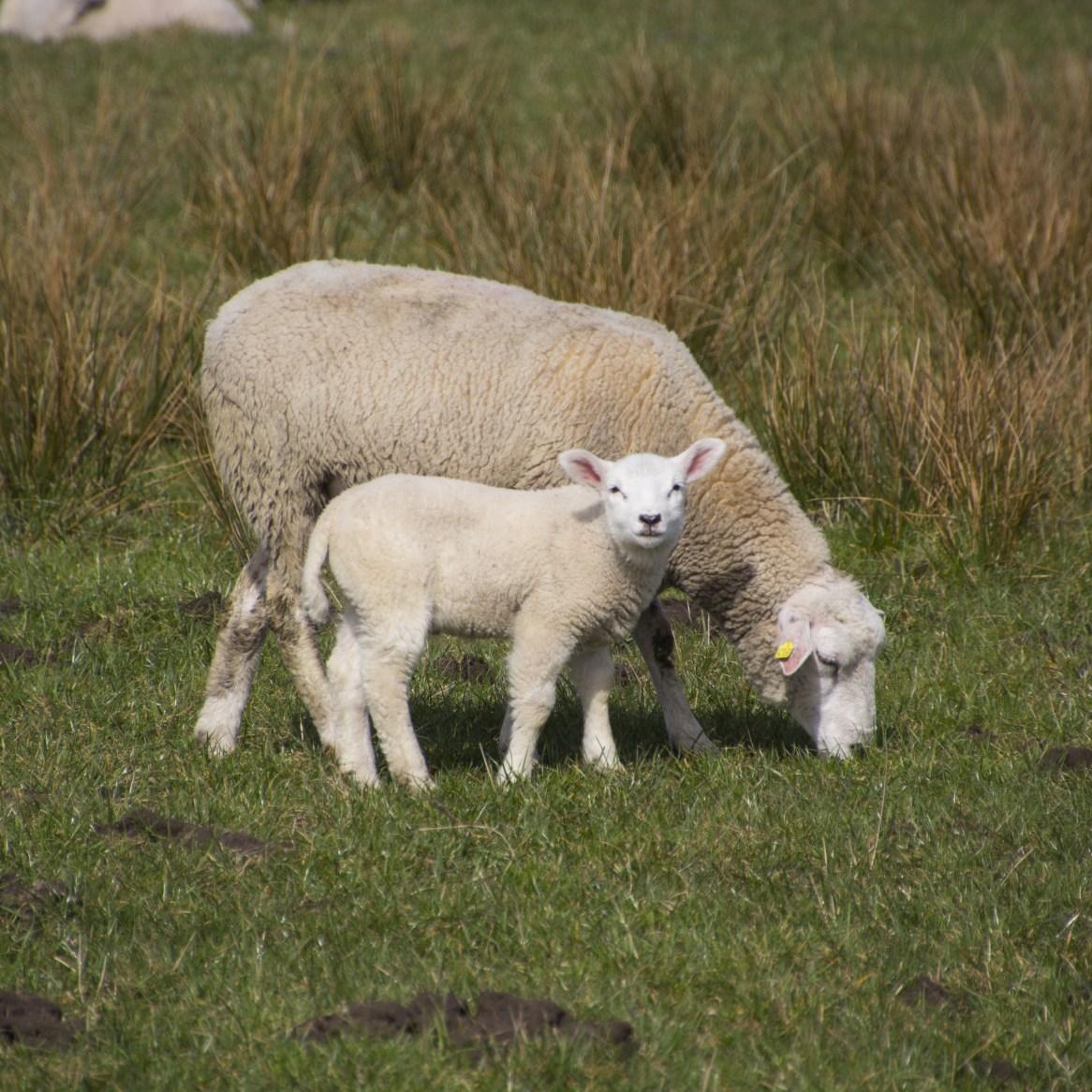 sheep-3302573